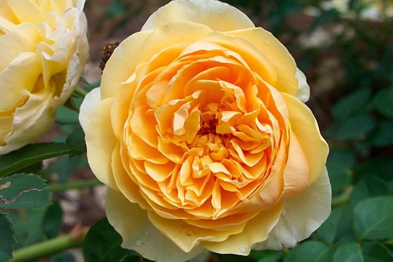 Natural Rose